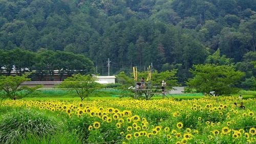 丹波市春日町 ひまわり柚遊農園のひまわり。