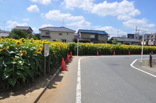 世田谷のひまわり畑
