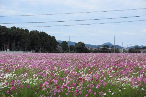 滋賀県のコスモス畑と鮎!でおなか一杯!