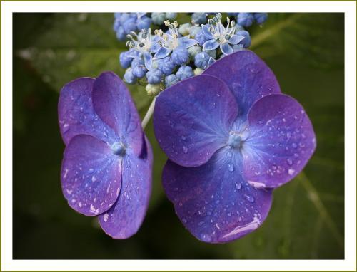 Solitary Journey [1786] 梅雨どきを美しく彩る雨に濡れた紫陽花。今年もお地蔵さんが微笑んでいました♪<花の寺観音寺>広島市佐伯区