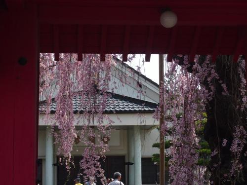 桜を追って・・・その1