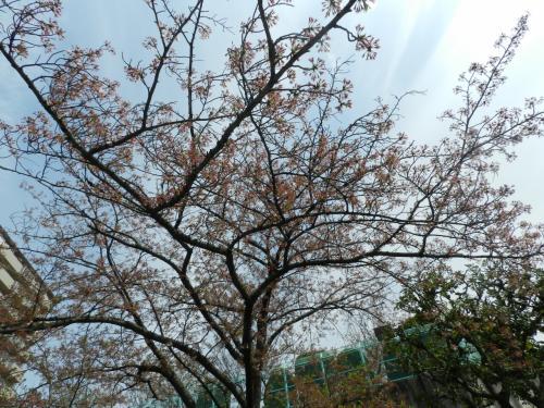 かみかわ桜の山『桜華園』でお花見~♪(兵庫県神河町)