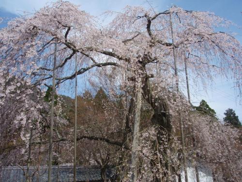 エドヒカン桜とイワウチワを求め清滝山に登りました