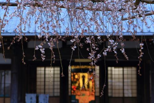 愛知 早咲きの桜めぐり~源空院、穴観音公園、長誓寺など