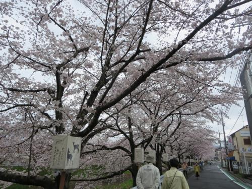 母と行く思い入れたっぷりの佐保川☆満開の桜に、まだまだ頑張ることを誓うのです~!(^^)!