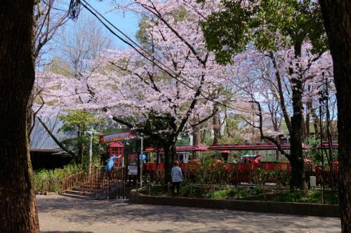 豊島園の春 さくら満開 下