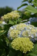 紫陽花も咲き始めています  敷地内には「あじさいの小径」もあり 来月には見頃を迎えるでしょう