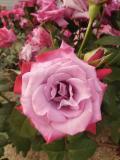 中之島バラ園は「バラ園」と「バラの小径」の2つのエリアに分かれます。  そしてバラ園は「ばらぞの橋」を挟んでさらに2つのエリアに分かれています。  まずは行ったことのないばらぞの橋の向こう側へ。  まず最初に目についたのはハイブリッドティー系(四季咲き、大輪1輪咲き)の『パラダイス』。  アメリカのバラ育種会社ウィークスのもの(1978)。  縁の色と中心の色が違っていてとてもキレイ。