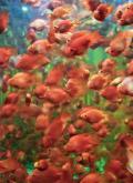 レストランのエントランスの水槽の金魚です。ディスプレイなのでかわいそうな気もしますがすごいインパクトでした。