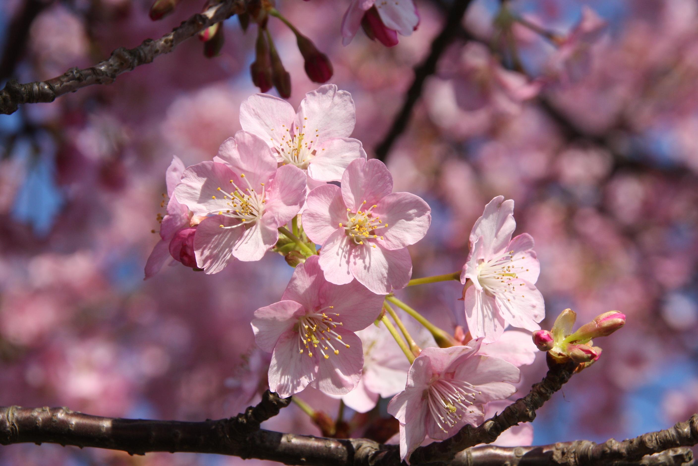 三浦海岸・桜まつり