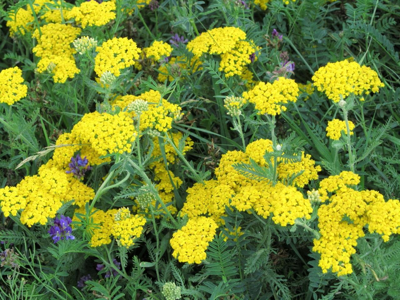 2011年コーカサス3カ国旅行ハイライトその10:植物編──野花にあふれたコーカサス