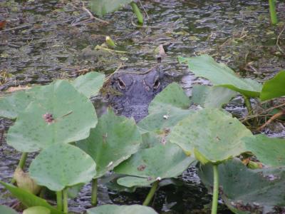 エバーグレーズ国立公園の画像 p1_28