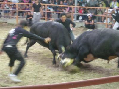 新春大闘牛大会