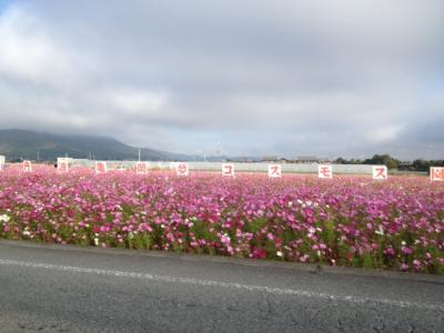 京都丹波/亀岡夢コスモス園