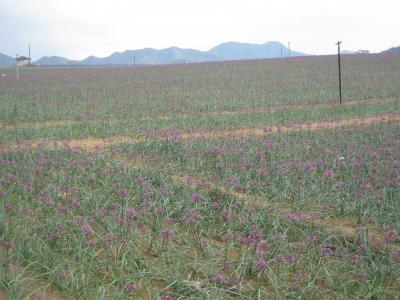 紫色の花がとっても綺麗な「ラッキョウ畑」!!