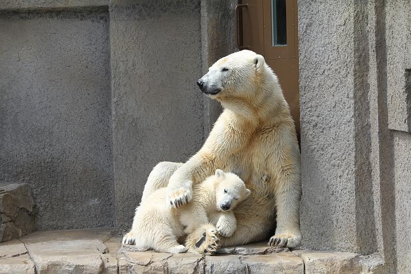 すすきの・札幌の観光スポット 円山動物園