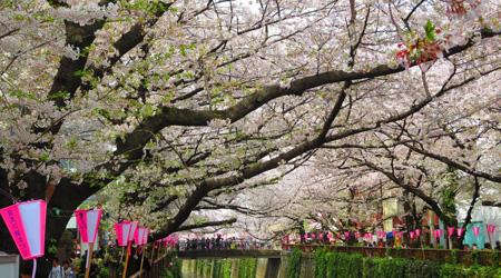 目黒川の桜が見れました。 きれいでした♪...