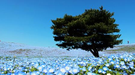 やっぱり青が好き/天空の瑠璃唐草(ネモフィラ)と化石海岸【...