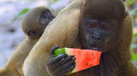 とうとう来ちまった...「地球の秘境:アマゾン〔ジャングルで「なまけもの」「つれないピラニア釣り」そして「(餌に)釣られるお猿さん」編〕」...7...(マナウス/ブラジル)
