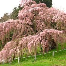 樹齢1000年以上!! 三春滝桜