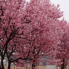 桜運動公園・・・くまがい桜の並木