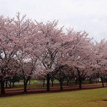 桜運動公園・・・ジョギングコース