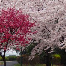 桜運動公園・・・ウォーキングコース