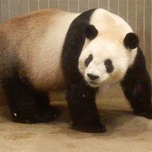 パンダは朝夕がいいみたいです
