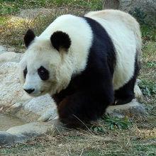 パンダをゆっくり見れるかも