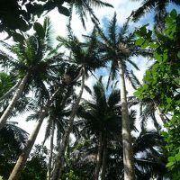 米原のヤエヤマヤシ群落 写真