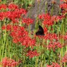 目に鮮やか曼珠沙華!真っ赤な花は、見る者を挽き付けます