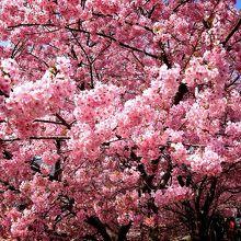ピンクの可愛い桜