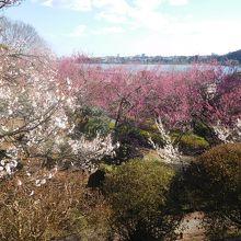 梅越しに千波湖が見えます。