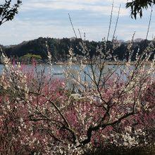 偕楽園から眺める千波湖