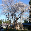 草岡大名神桜