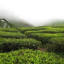 見渡す限りのお茶畑