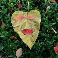 紅葉していた葉で顔を作って遊びました♪