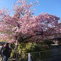 写真:河津桜原木