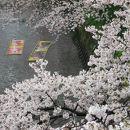 五条川岩倉桜まつり