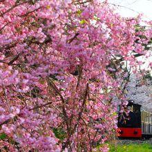 """浜寺公園はバーベキューのにおいと子供たちの声につつまれて""""さくらまみれ"""""""