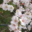 かんざき桜の山桜華園