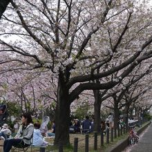 桜の時期は近隣の花見客でにぎわいます