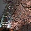 ライトアップされた桜のお花見ができました