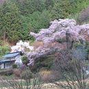西丸尾の桜