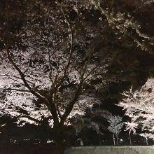 川の両岸に続く桜並木