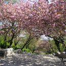 播磨中央公園さくらまつり