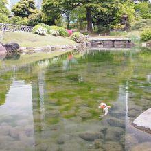 池には鯉もいます