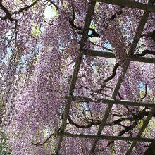 成田山公園の藤棚
