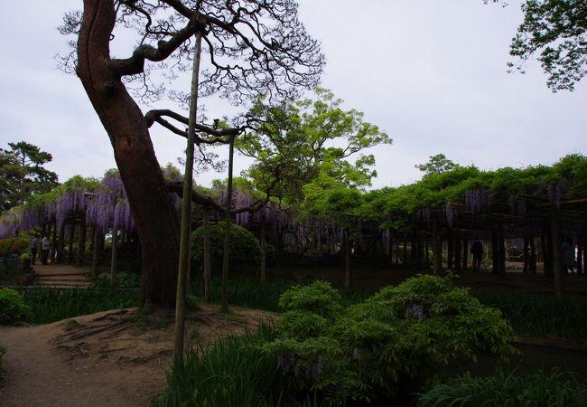 牛島の藤 (藤花園)