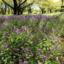 ムラサキハナナのお花畑。林の中に広がる。